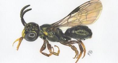 Pesquisadores brasileiros descobrem nova espécie de abelha